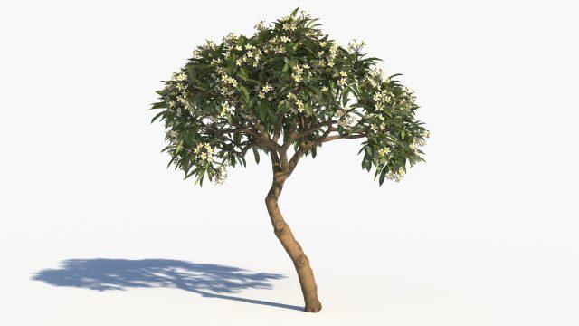 Plumeria Tree Signature